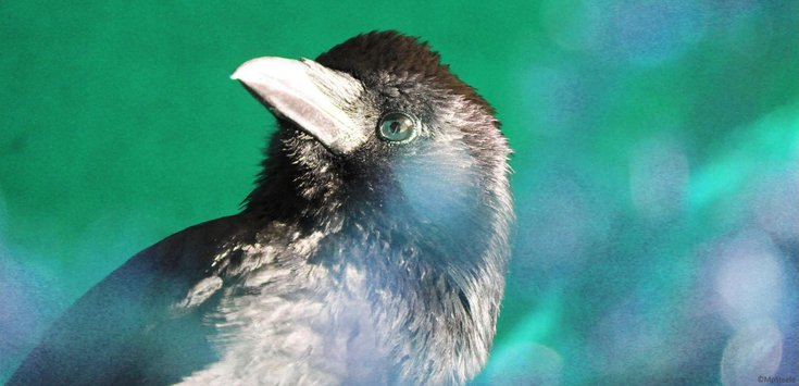 crow1from_julia_2